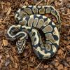 Royal Python or Ball Python - Spot Nose (CB19) MALE