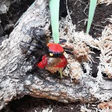 Vampire Crab (Geosesarma species)