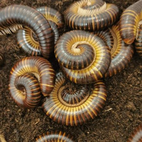 Satin Millipede