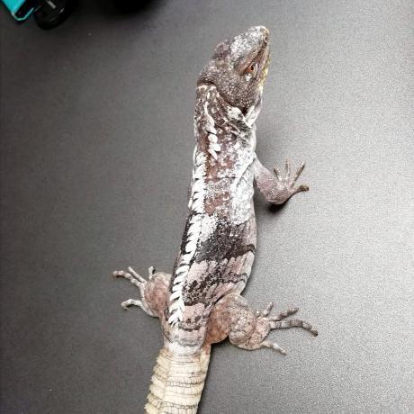 Guatemalan Spiny Tailed Iguana
