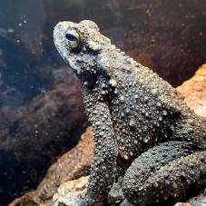 Giant Asian Toad