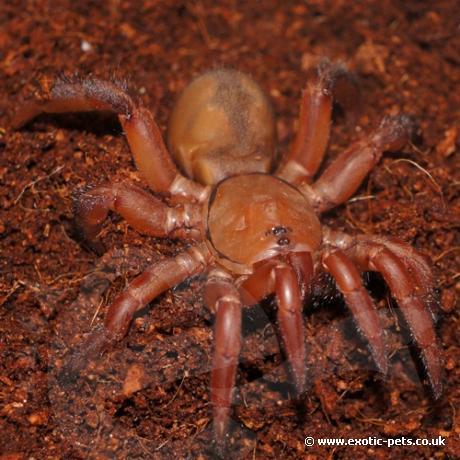 Red Trapdoor Spider
