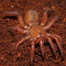 Red Trapdoor Spider (Ctenolophus sp.)