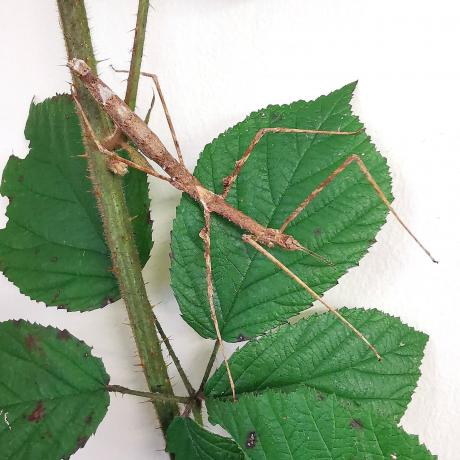 Zompros Stick Insect