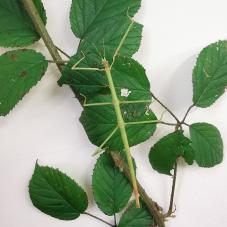 Vietnamese Stick Insect (Ramulus artemis)