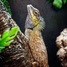 Emma Grays Forest Lizard (Calotes emma)