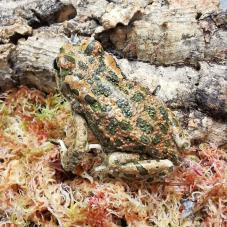 European Green Toad (Bufotes viridis)
