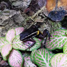 Spot-Legged Poison Dart Frog (Ameerega picta)