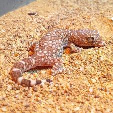 Elegant Gecko (Stenodactylus sthenodactylus)