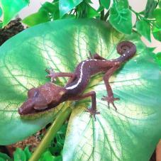 Malaysian Cat Gecko (Aeluroscalabotes felinus)
