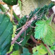 Thorny Stick Insect (Aretaon asperrimus)