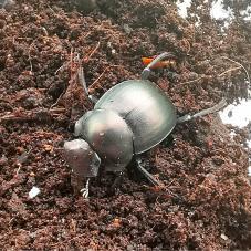 Ghana Dung Beetle