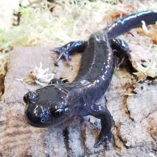 Hokkaido Salamander (Hynobius retardatus)