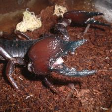 Tanzanian Red Clawed Scorpion (Pandinus cavimanus)