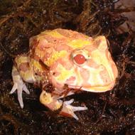 An Albino Horned Frog